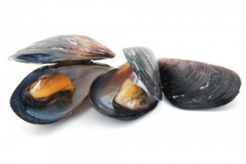 mussel x 480