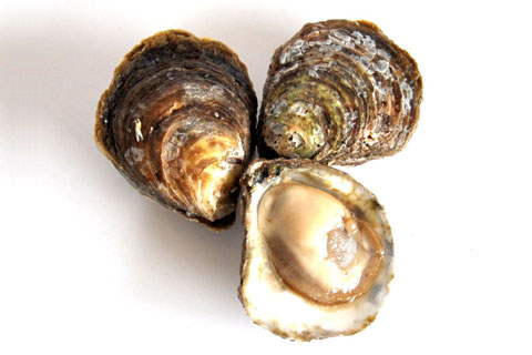 oyster native