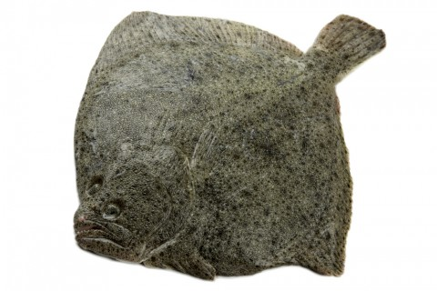 turbot white background