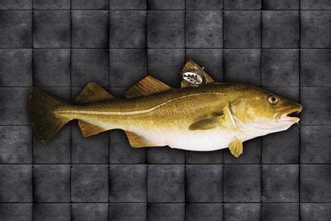 Skrei fish