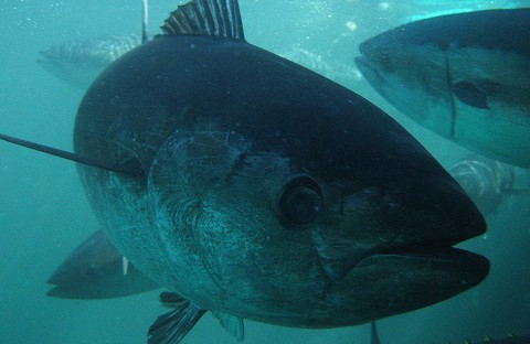 190201 blue tuna