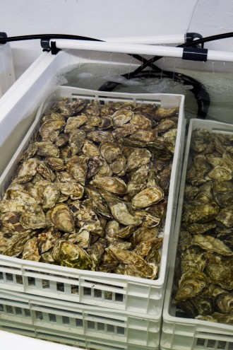 Porlock Bay Oyster Cleaning